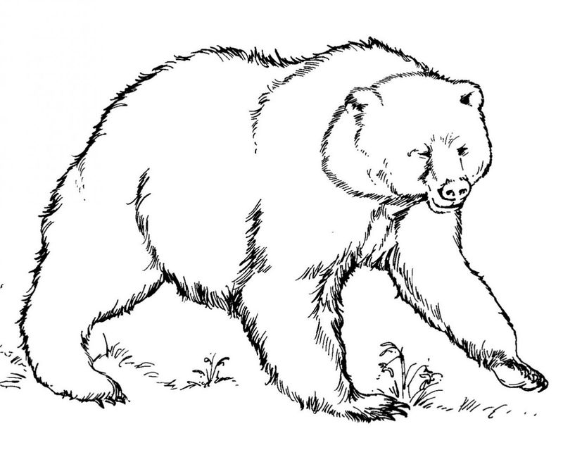 American Black Bear Coloring Page