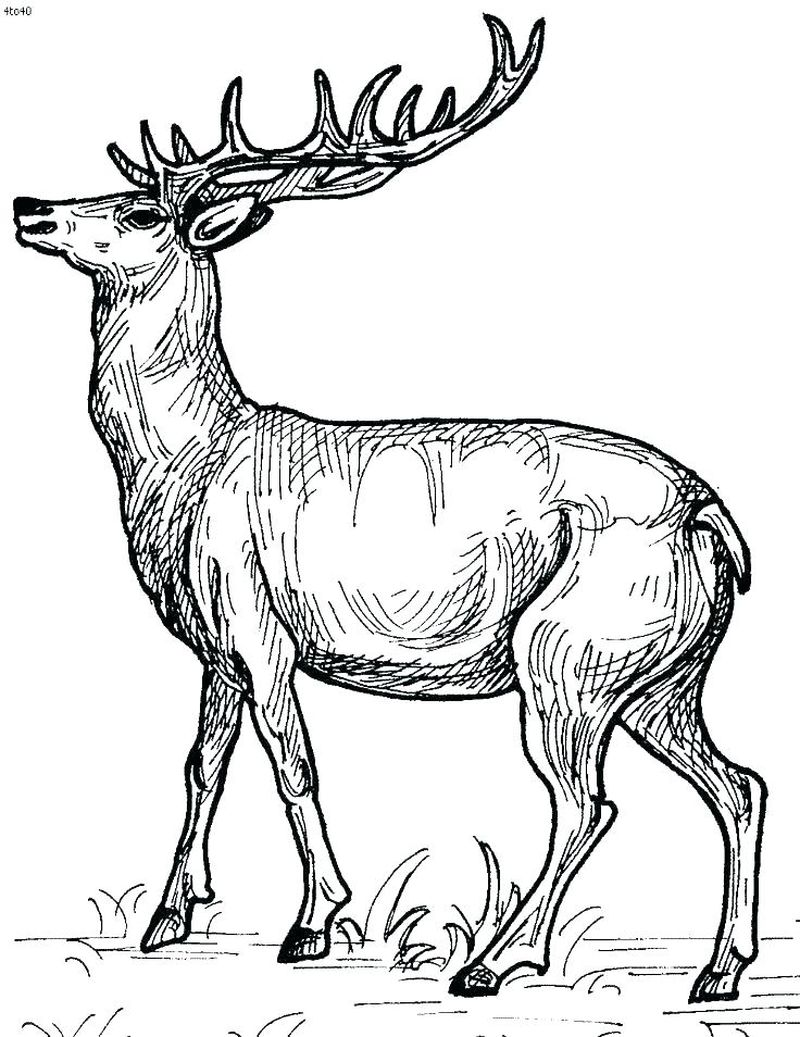 Coloring Pages And Deer
