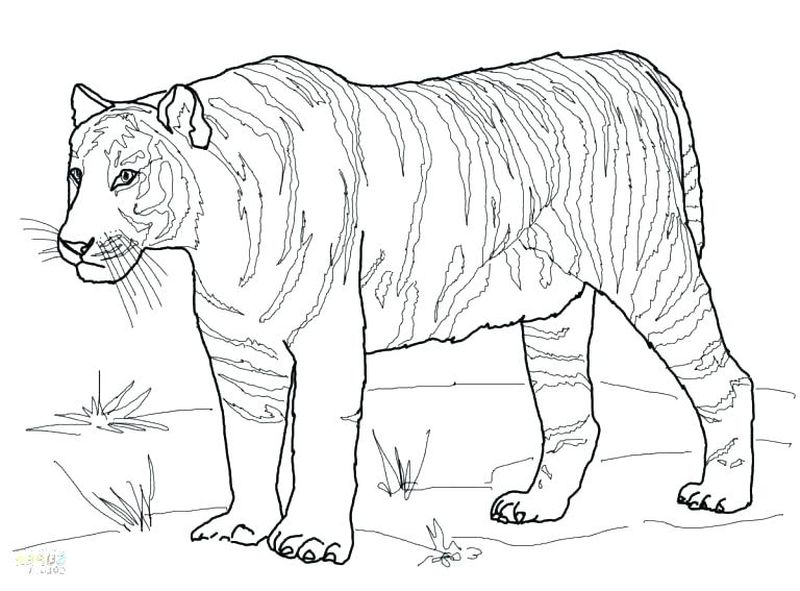 Cool Tiger Coloring Pages