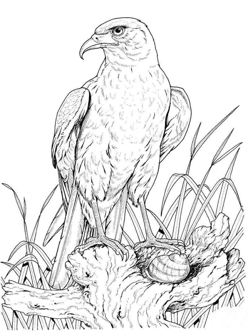 Eagle Flying Coloring Pages