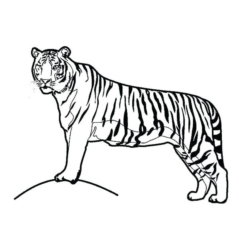 Free Coloring Pages Baby Tiger