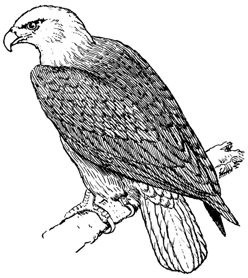 Philadelphia Eagle Coloring Pages For Adults