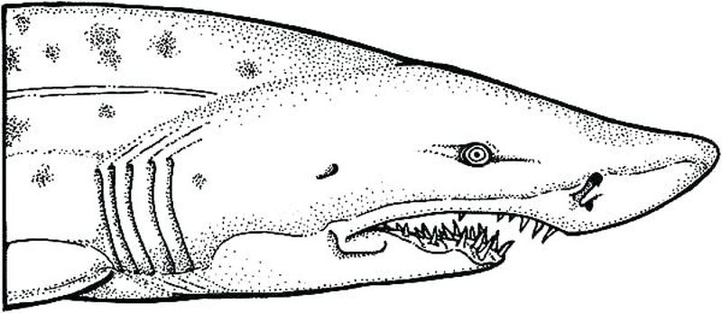 Shark Coloring Pages Online