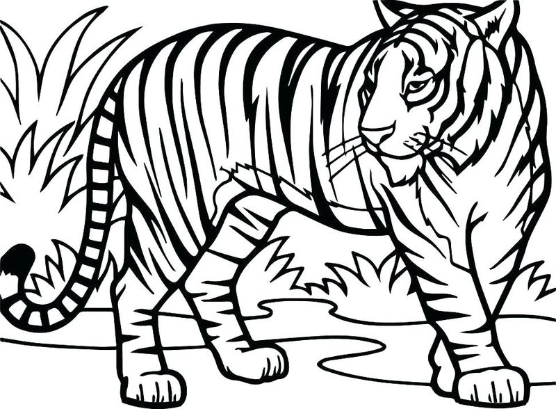 Tiger Coloring Pages India