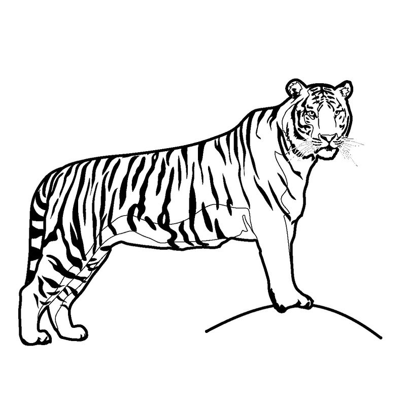 Tiger Coloring Pages Momjunction