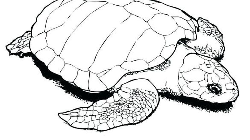 Turtle Coloring Pages Colored