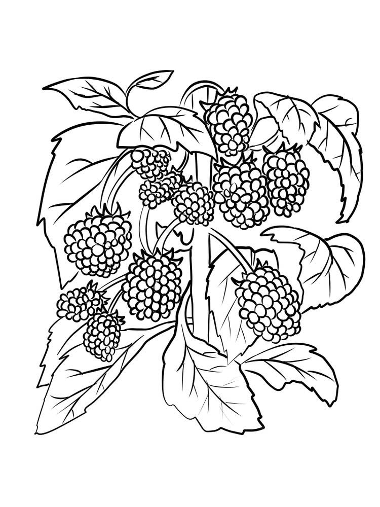 boysenberry for coloring pdf