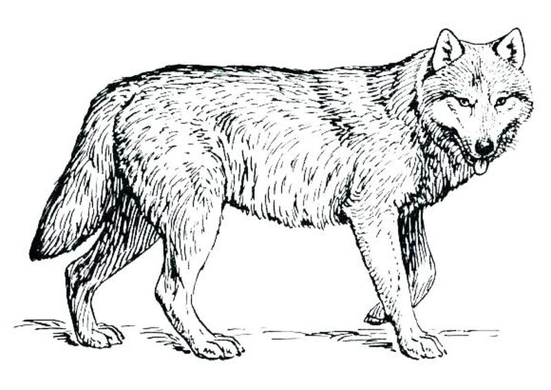 best wolf coloring pages online