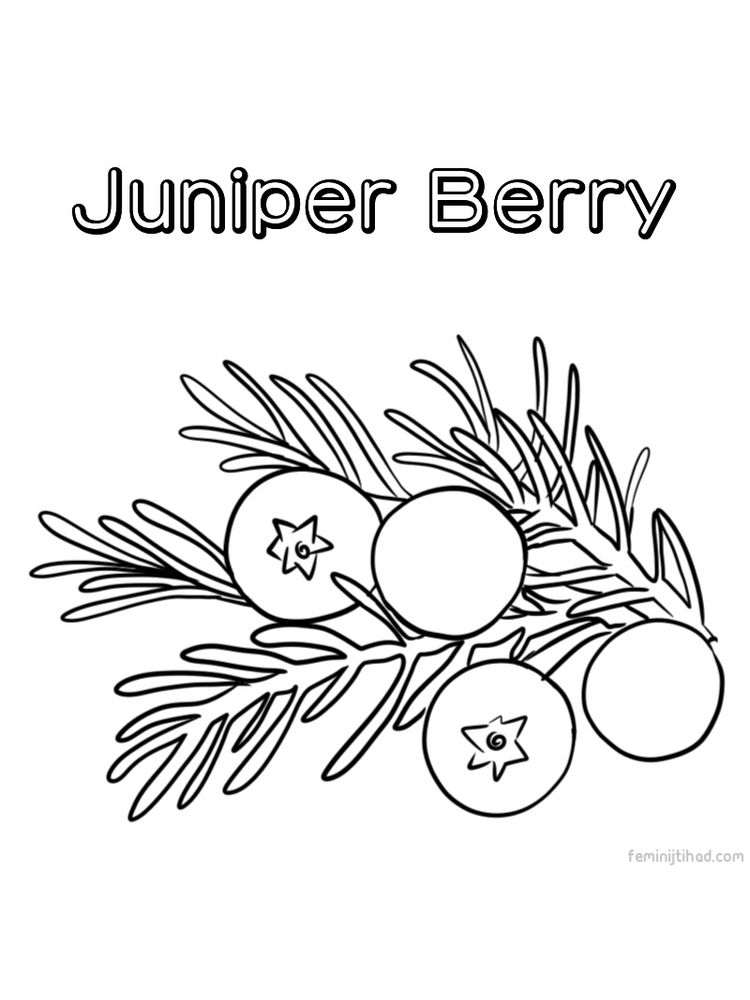 free juniper berry coloring page printable