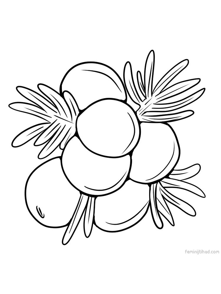 free juniper berry images for coloring page