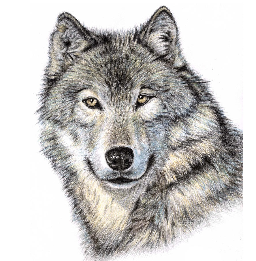 free wolf coloring