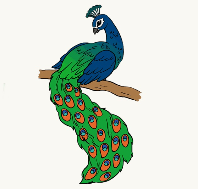 peacock coloring
