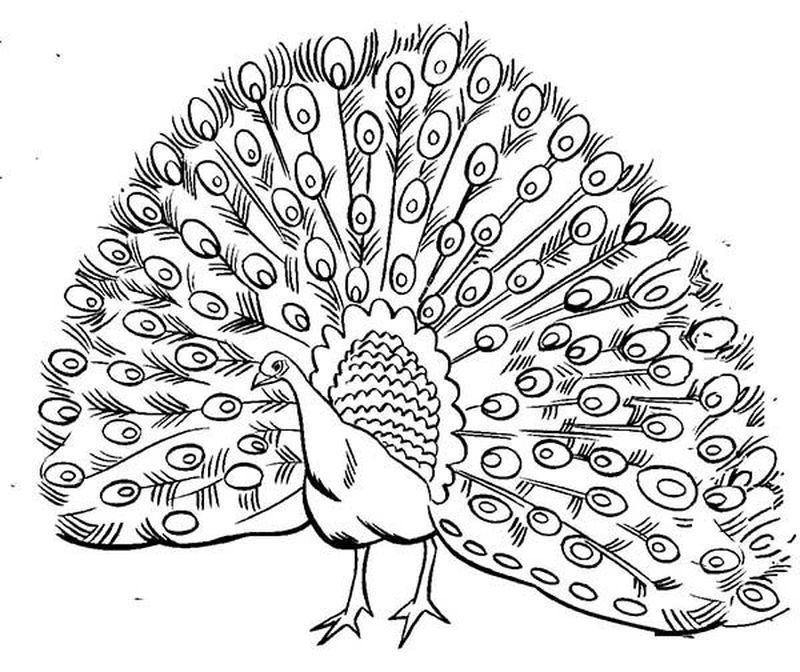 peacock design coloring pages