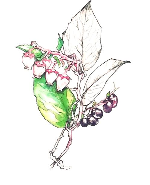 printable salal berry coloring pages pdf