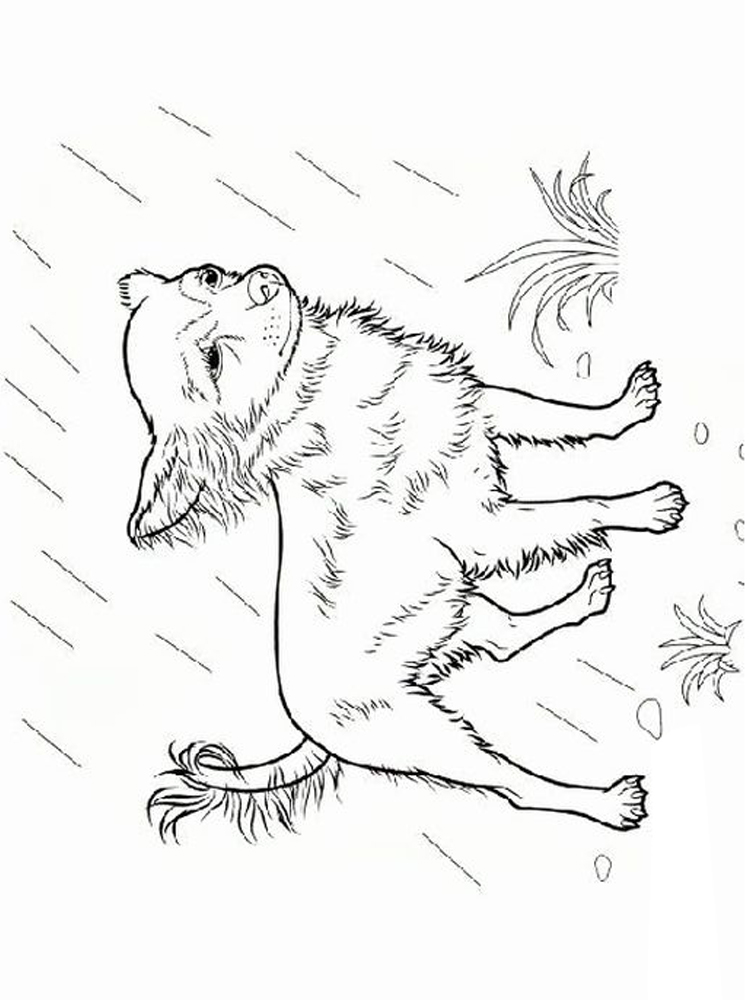 Chihuahua Coloring Pages print