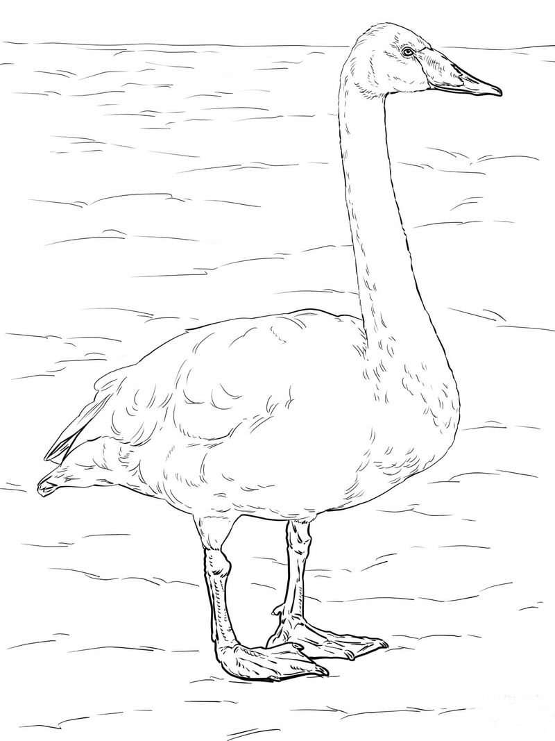swans coloring pages print
