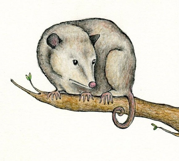 Possum Coloring