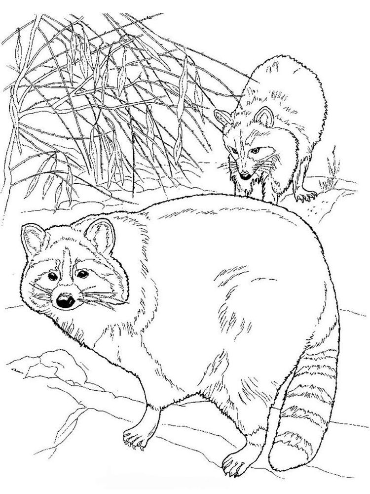 Printable Coloring Page Of A Raccoon