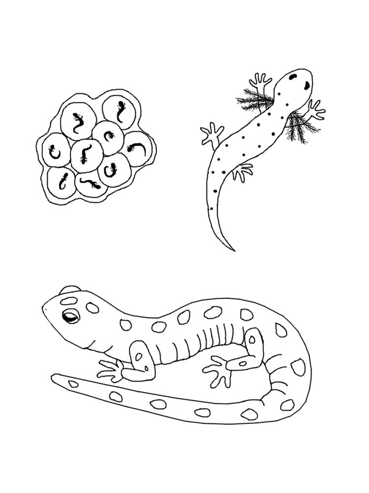 download salamander coloring pages printable