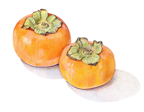 persimmon coloring