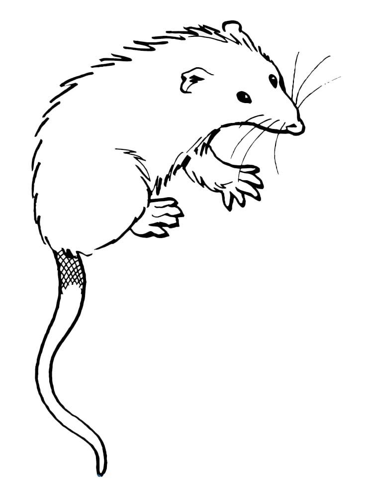 printable possum coloring pages image