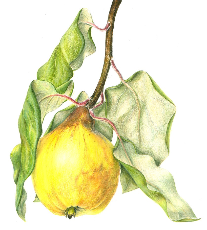 quince coloring