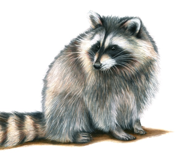 raccoon coloring best